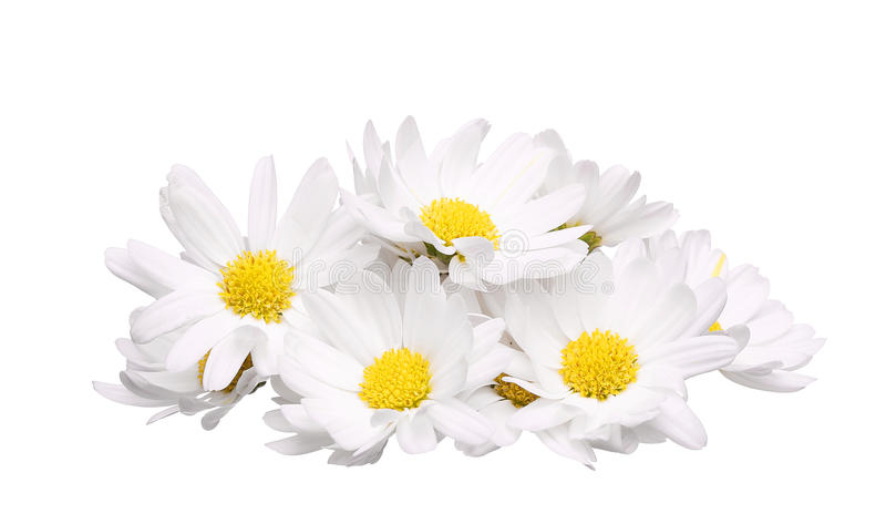 Pile of chamomile flower isolated on white background royalty free stock photos