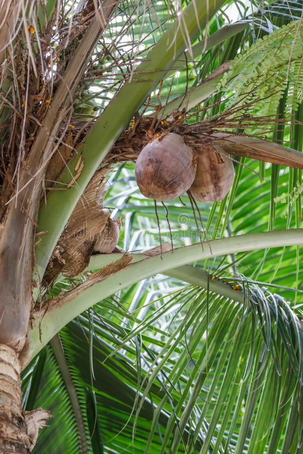 Download Pile of coconuts stock image. Image of coconut, nature - 39509997