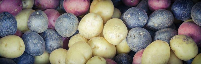 Pile de fond mélangé organique de pommes de terre d'arc-en-ciel de mélange photographie stock libre de droits