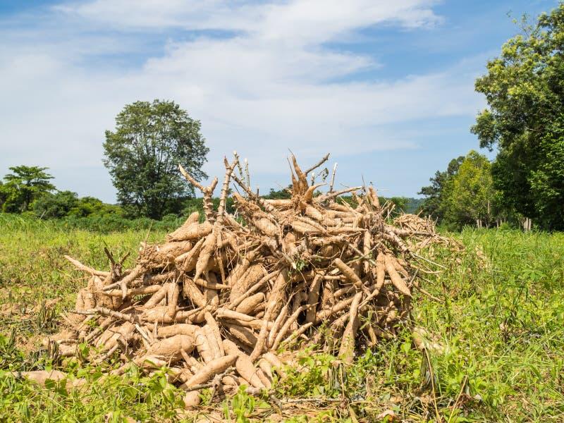 Pile de manioc photo libre de droits