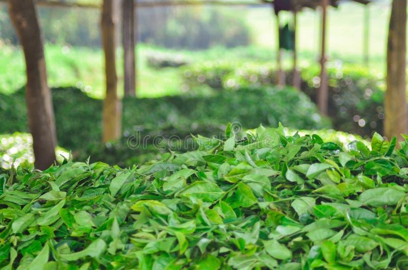 Pile des feuilles de thé moissonnées en Ouganda photographie stock libre de droits