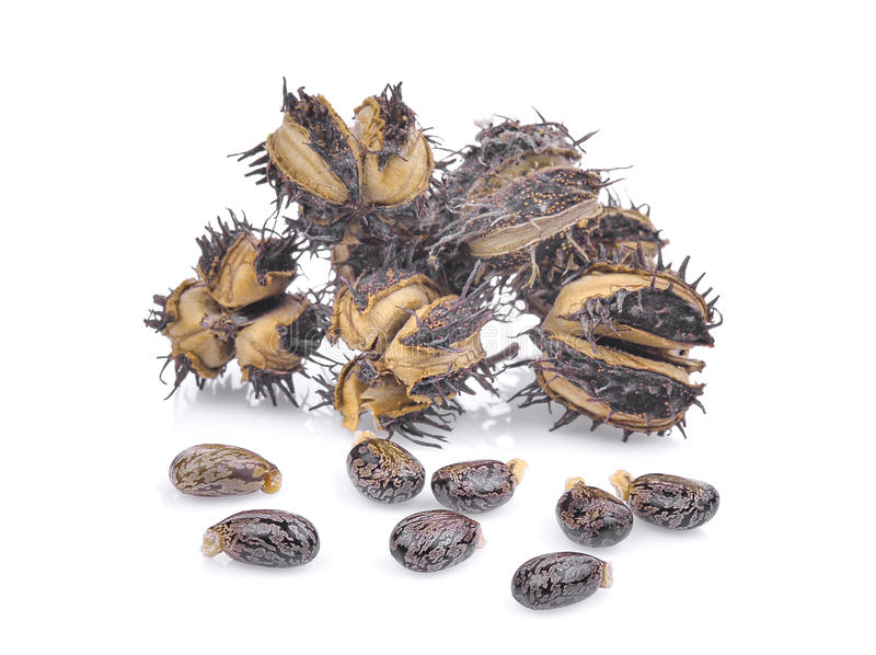 Pile of dried Castor, Castor bean, Castor oil plant with seeds stock images