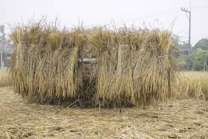 Pile du traitement de attente de paille sèche de riz pour rassembler le grain de riz photos stock