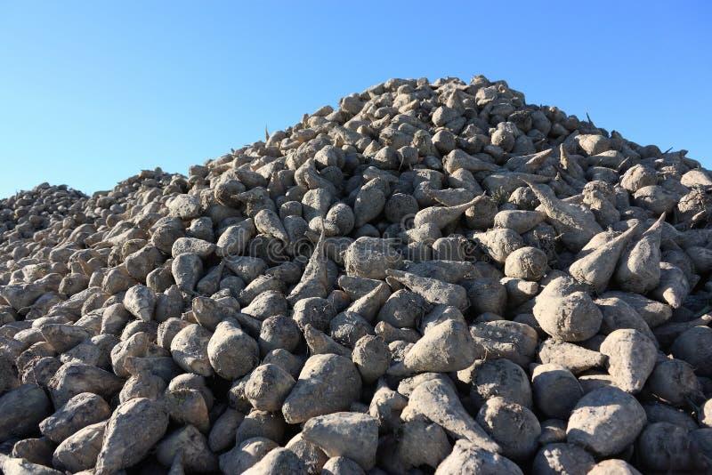 Pile ensoleillée de betterave à sucre au champ après récolte photos stock