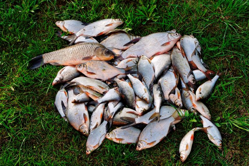 Pile of fish on grass, toned. Pile of fish on grass, good summer catch, toned image stock photography