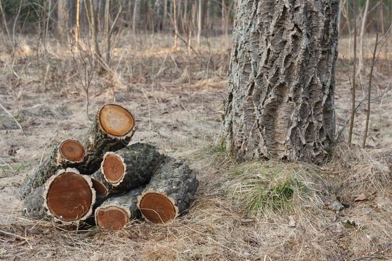 Amur cork tree firewood royalty free stock photos