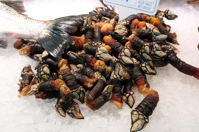 A pile of fresh raw goose barnacles from Galicia on ice sold on fish market. Spanish name galician percebres stock image