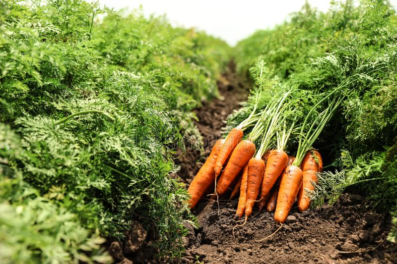 Pile of fresh ripe carrots on field. farming royalty free stock photography