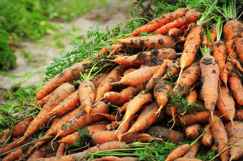 Pile of fresh ripe orange carrots in the garden,. .Healthy vegetarian food royalty free stock photography