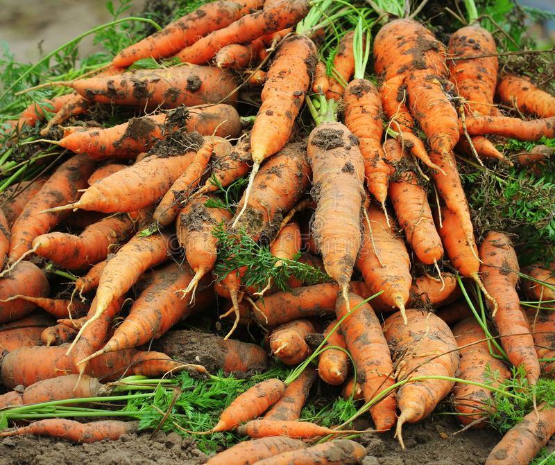 Pile of fresh ripe orange carrots in the garden. .Healthy vegetarian food royalty free stock images