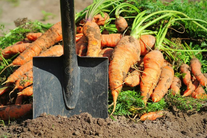 Pile of fresh ripe orange carrots and shovel in the garden,. .Healthy vegetarian food royalty free stock images
