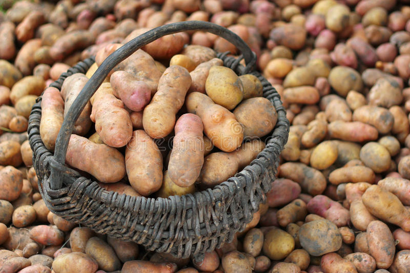 Pile of freshly dug potatoes and a basket royalty free stock images
