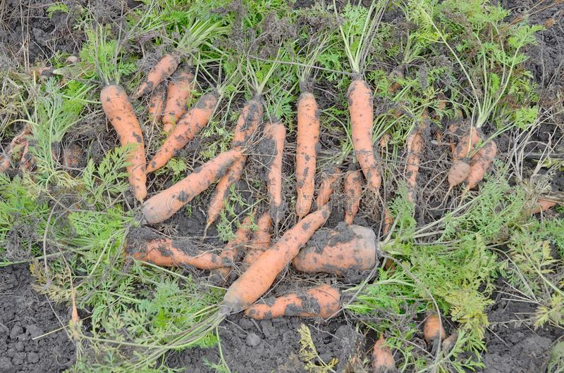 Pile of freshly dug carrots with leaves at ground stock photos