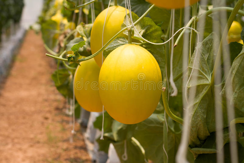 A pile of golden melon fruit royalty free stock image