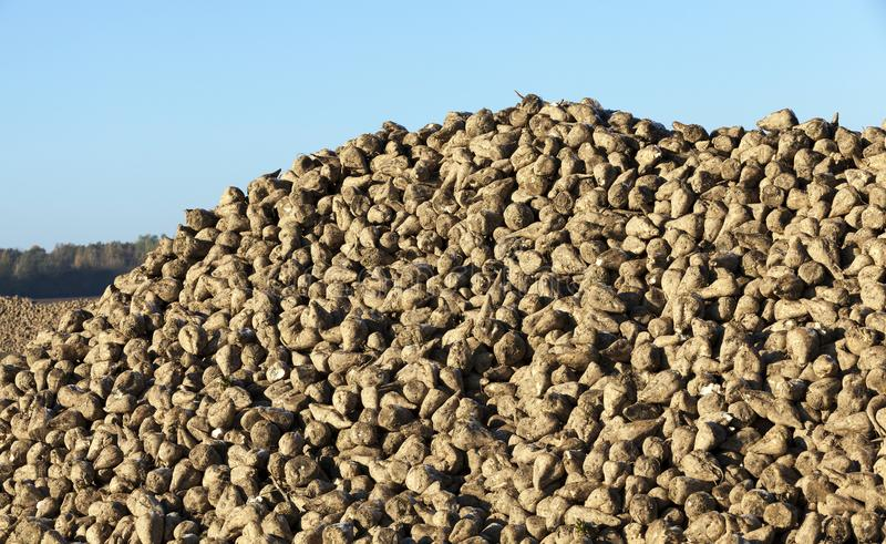 Pile of of the harvest of sugar beet close up. Pile of of the harvest of sugar beet. Photographed close up against the blue sky stock photography