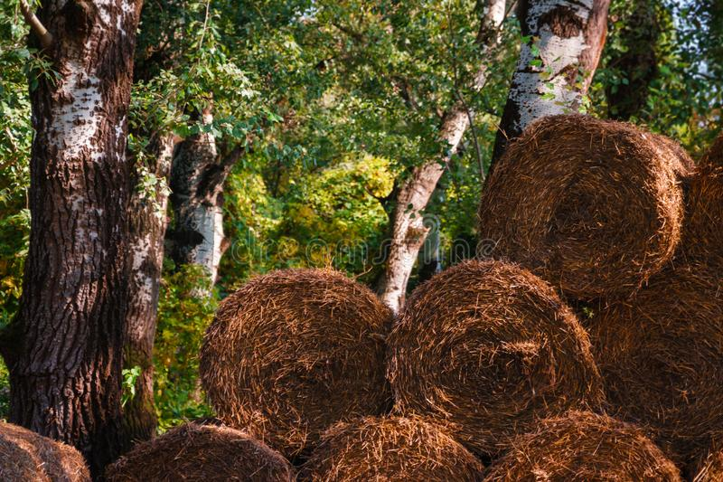 Pile of hay with forest in the background stock image