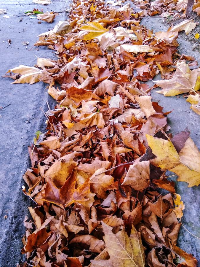 Pile of leaves. Reminds of the imminent autumn. Maple leaves after a thunderstorm royalty free stock photography
