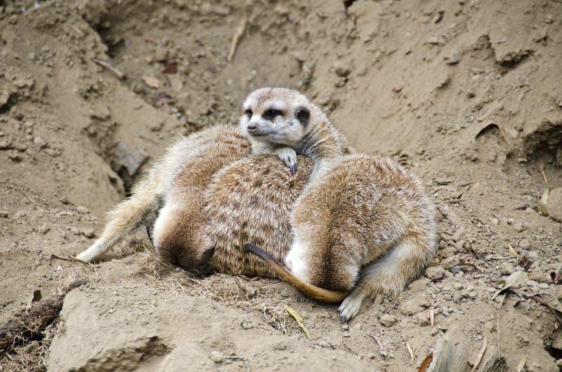 Pile Of Meerkats Stock Image