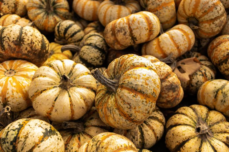 Pile of mini pumpkins royalty free stock photography