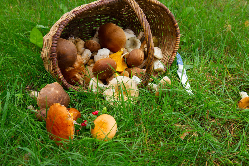 Pile of mushrooms. In willow basket on fresh green grass royalty free stock photography