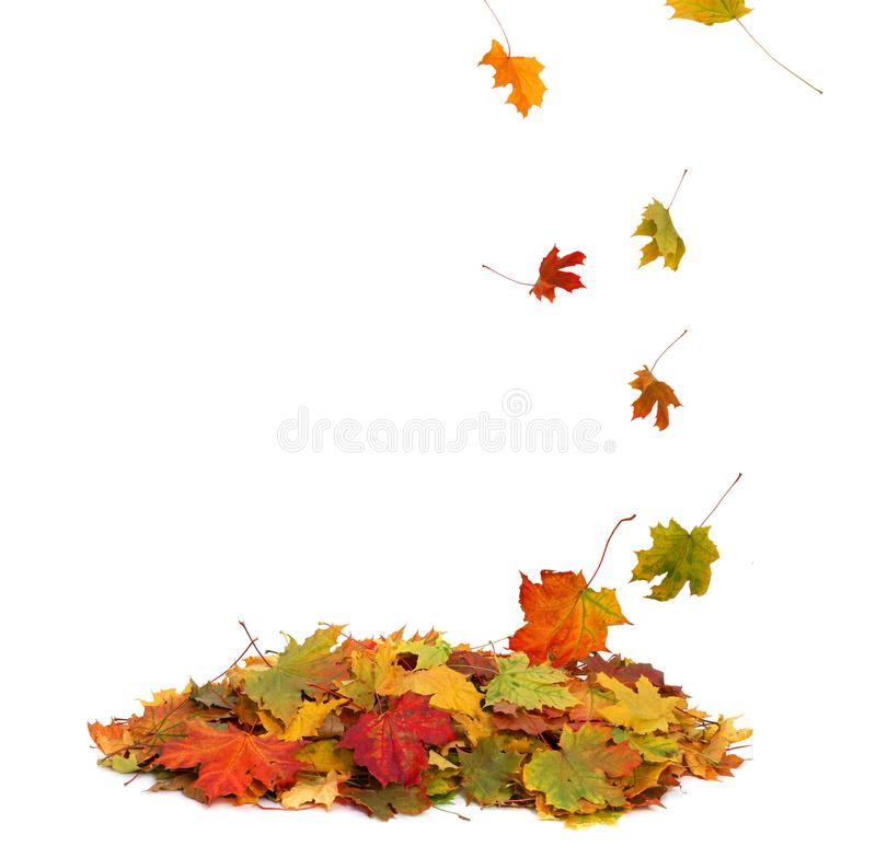 Free Pile Of Autumn Colored Leaves Isolated On White Background. Royalty Free Stock Photos - 101380608