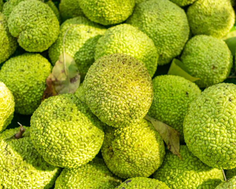 Pile of Osage Oranges royalty free stock images