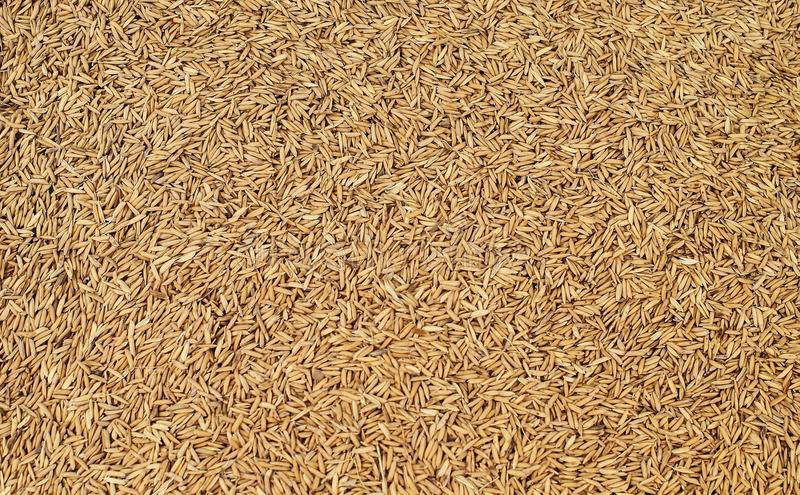 Pile of paddy rice background : Closeup royalty free stock image