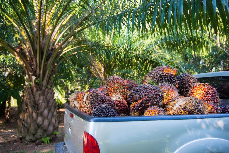 Pile of palm oil on pickup truck. Agriculture royalty free stock photography