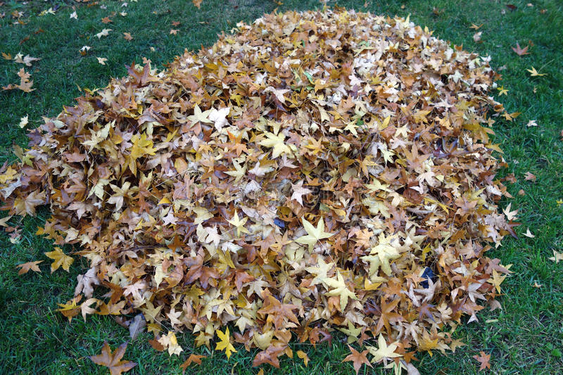 Download A Pile Of Parasol Tree Leaves Stock Photo - Image: 35382652