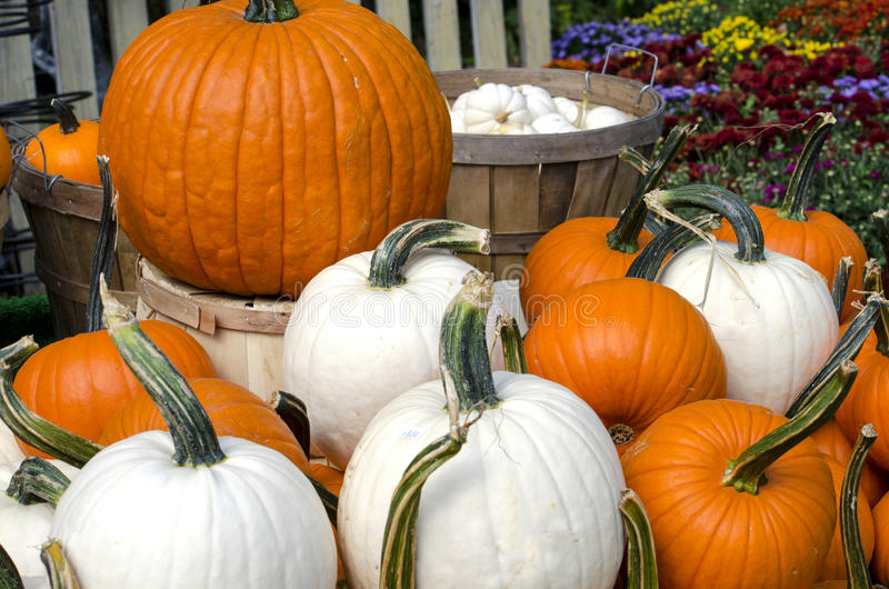 Pile of pumpkins in orange and white stock images