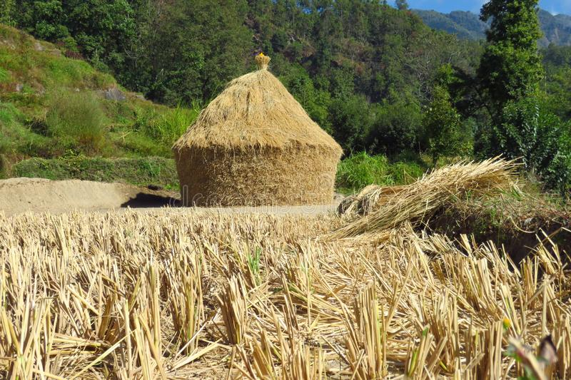 Pile of rice straw looking like a house drying under the Nepalese sun, Num, Nepal. Harvested rice field in front of the pile of rice straw drying under the stock photos