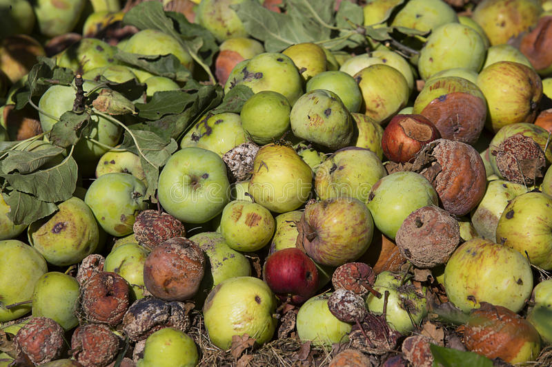 Pile of rotten apples. Pattern of pile of rotten apples on the ground royalty free stock image