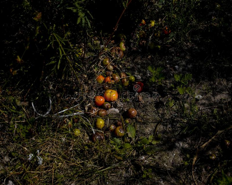 Pile of rotten overgrown gone bad tomatoes on a dirty ground in a forest stock photo