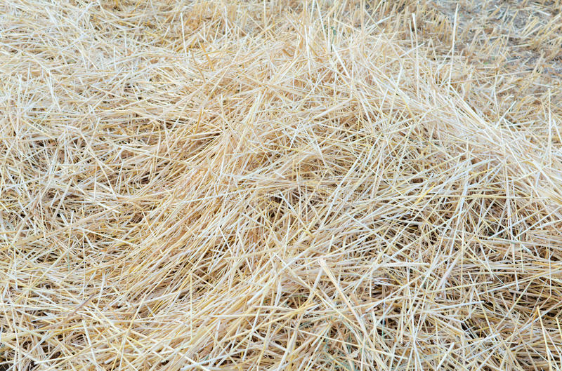 Pile of Straw. On the Field after Wheat Harvest stock photo