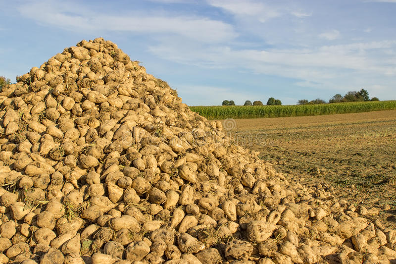 Pile of sugar beet. A pile of sugar beet on a field royalty free stock photography