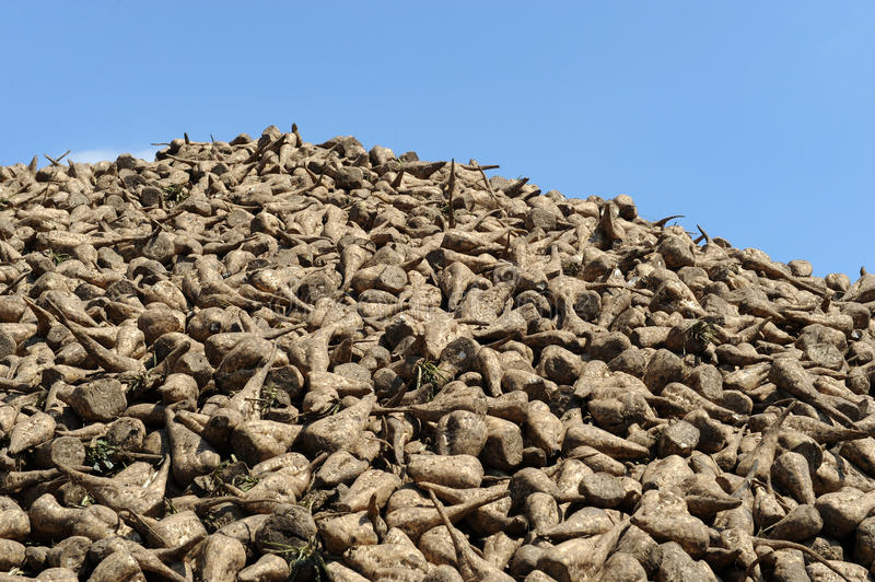 Pile of sugar beets on a farm royalty free stock photography