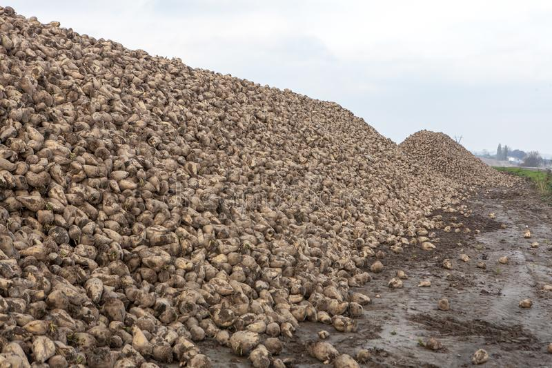 Pile of sugar beets. Harvest in farm stock photos