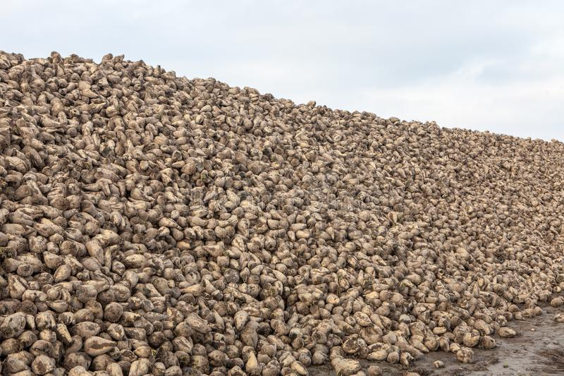 Pile of sugar beets. Harvest in farm royalty free stock photography
