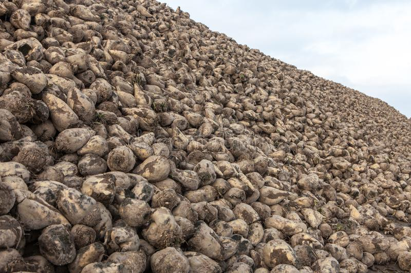 Pile of sugar beets. Harvest in farm royalty free stock photos