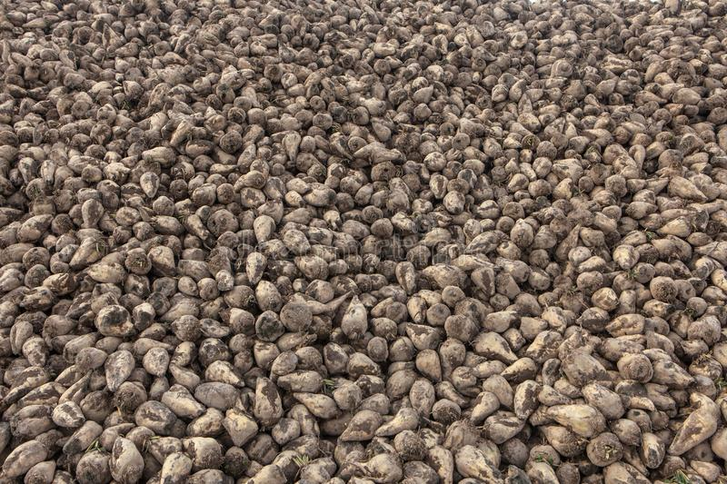 Pile of sugar beets. Harvest in farm royalty free stock image