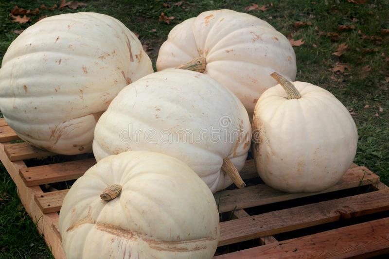 Pile of White Pumpkins royalty free stock image