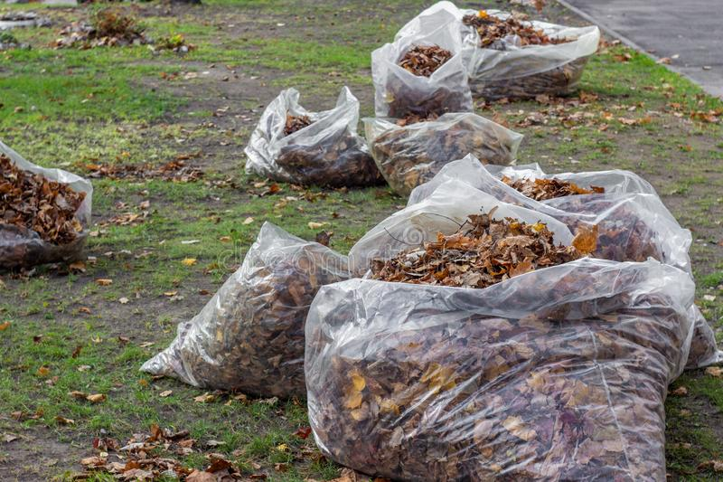 A pile of yellow and orange fallen leaves is collected in large transparent plastic bags on the green grass lawn in the backyard. stock image