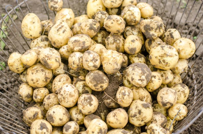 A pile of young potatoes with the earth in the basket. Collecting and peeling of young potatoes, harvest of potatoes in the fields royalty free stock image