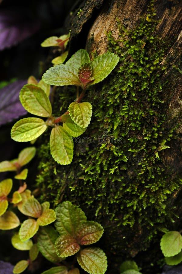 Pilea растя на стволе дерева стоковые изображения