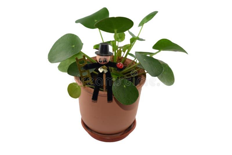 Pilea Peperomioides - planta de dinheiro chinesa fotografia de stock