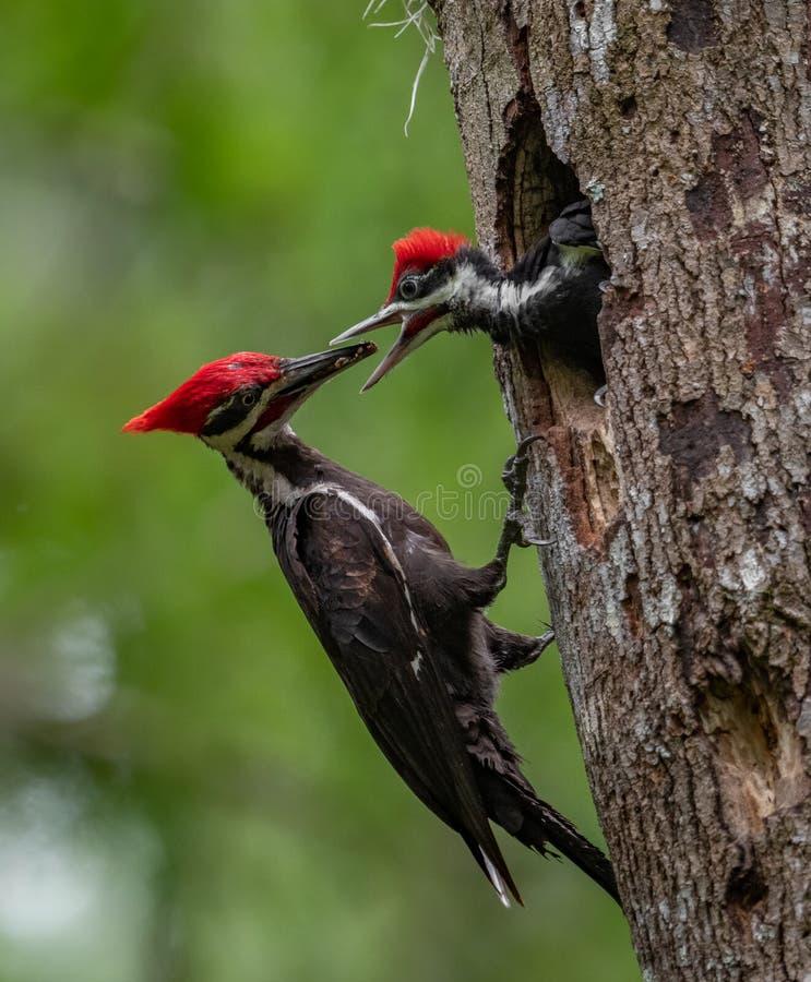 Pileated啄木鸟巢在佛罗里达 库存照片