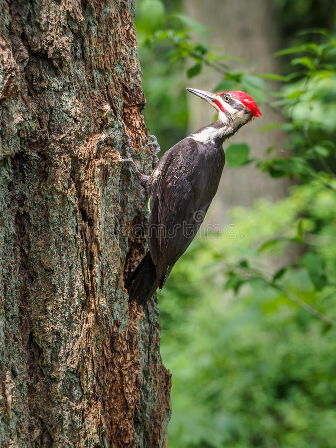 pileated啄木鸟Dryocopus pileatus啄在 免版税库存图片