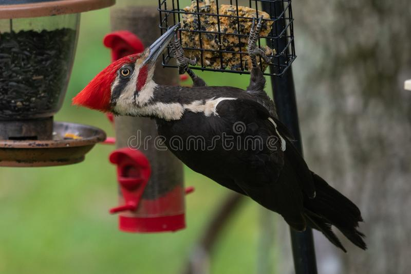 Pileated啄木鸟Dryocopus pileatus 免版税库存照片
