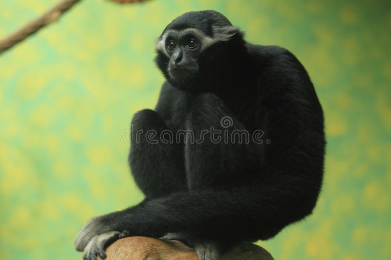 Pileated gibbon. The pileated gibbon sitting on the wood stock photos