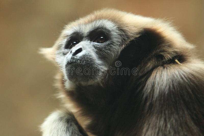 Pileated gibbon. The detail of pileated gibbon royalty free stock photos
